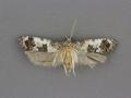 3839 Rudenia leguminana female