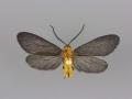 4635 Neoilliberis fusca male