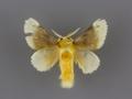 4646 Megalopyge bissesa male