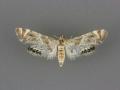 4775 Petrophila jaliscalis