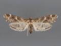 4783 Petrophila longipennis female