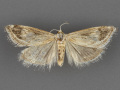 4798 Frechinia helianthiales-male