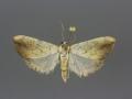 4899 Evergestis consimilis male
