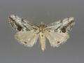 4904 Evergestis simulatilis male