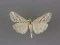 4906 Evergestis vinctalis male