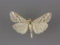 4906 Evergestis vinctalis male