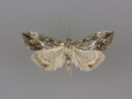 4909 Evergestis funalis female