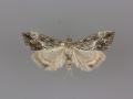 4909 Evergestis funalis female