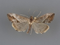 4912 Evergestis obliqualis female