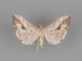 4914 Evergestis triangularis female