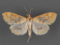 4968-Hahncappsia-pergivalis-female