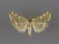 5004 Loxostege sticticalis female