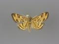 5060 Pyrausta insequalis male