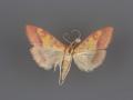 5064 Pyrausta perrubralis female