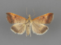 5076-Pyrausta-antisocialis-female