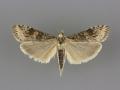 5156 Nomophila nearctica female