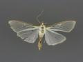 5218 Palpita quadristigmalis female
