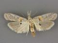 5912 Macrorrhinia aureofasciella male