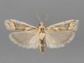 5916 Ancylosis morrisonella male