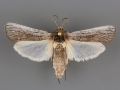 5973 Melitara subumbrella male
