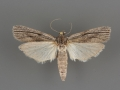 5977 Cahela ponderosella male