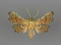 6079 Dysodia granulata