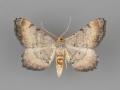 6338.1 Macaria ponderosae male dorsal