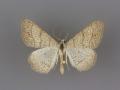 6377 Digrammia muscariata male