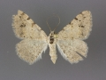 6380 Digrammia californiaria