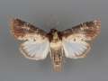 9589 Properigea costa male