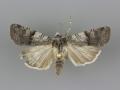 10815 Euxoa sculptilis female
