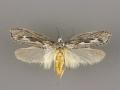 0980 Ethmia discostrigella female