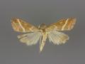 5029 Pyrausta volupialis-male