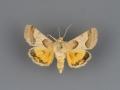 11132 Schinia jaguarina