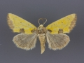 9787 stiria-sulphurea-male